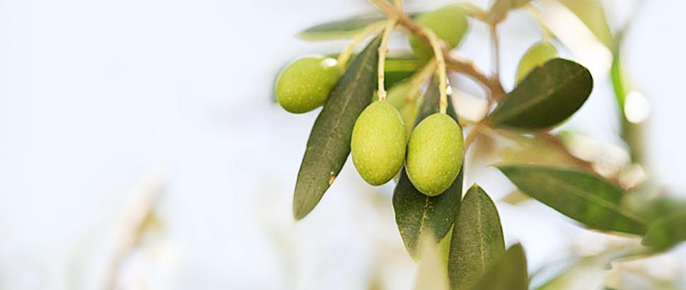 イタリア オリーブの樹